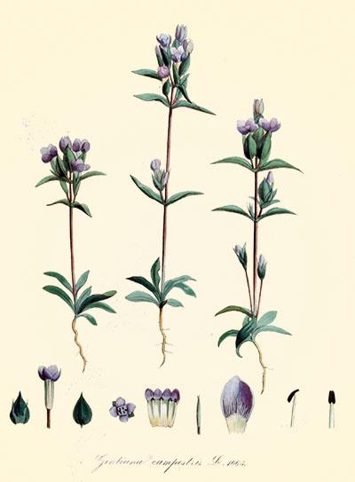 Gentiana_campestris_—_Flora_Batava_—_Volume_v14