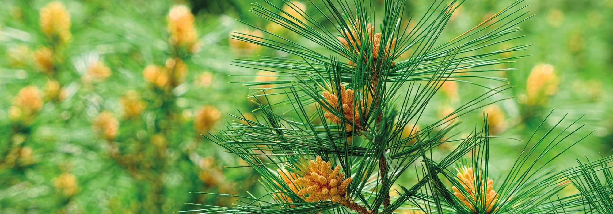 SLIDE1-pine