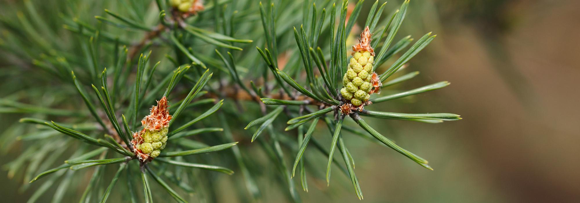 SLIDE2-pine