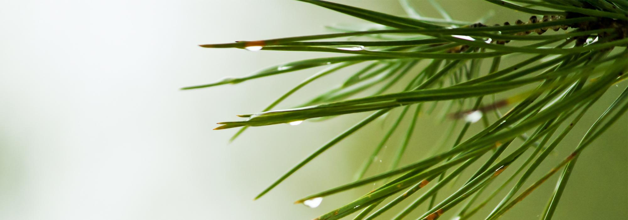 SLIDE3-pine