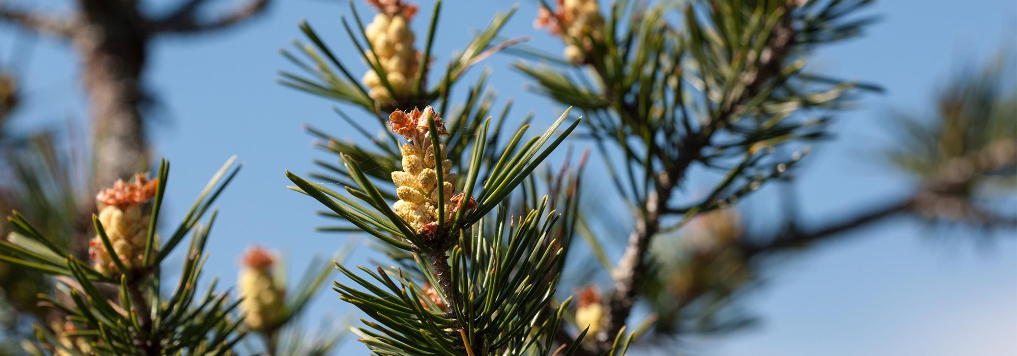 SLIDE4-pine