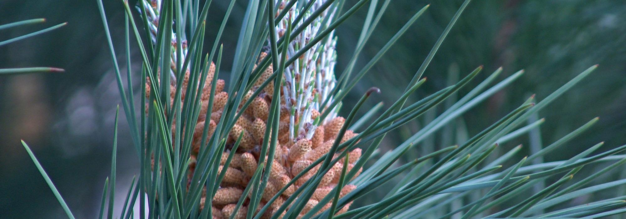 SLIDE7-pine