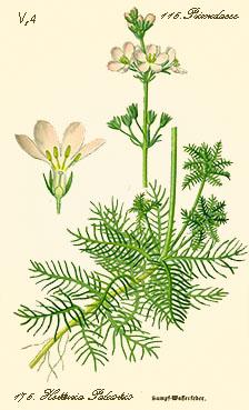pianta1-watervioletSC